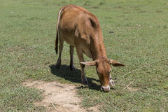 Female cow eating in the field Stock Photos