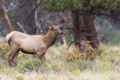 Female cow elk looking for bull elk Stock Image