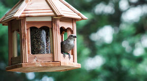 Female Cowbird in a bird feeder. Stock Photos