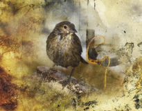 Female Cowbird Illustration Royalty Free Stock Images