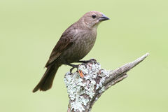 Female Cowbird On A Perch Stock Image
