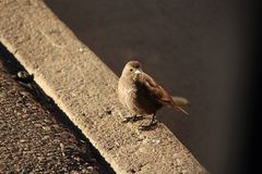 Female cowbird solitary Royalty Free Stock Photos
