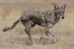 Female Coyote. A female coyote prowls the high plains of Colorado Royalty Free Stock Image