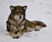 Female Coyote. Laying in the snow Stock Photography