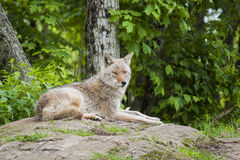 Female Coyote Royalty Free Stock Photos