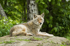 Female Coyote Stock Photos