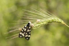 Female cream-spot tiger moth Royalty Free Stock Image