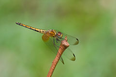 A female crimson dropwing dragonfly Stock Image