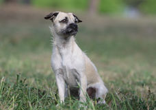 Female crossbreed puppy. Outdoors looking in front Royalty Free Stock Photography