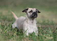Female crossbreed puppy. Outdoors looking in front Stock Photo