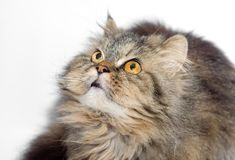Female crossbreed of siberian and persian cat Stock Images