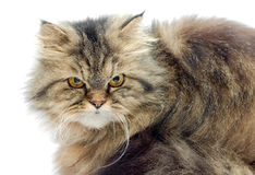 Female crossbreed of siberian and persian cat Royalty Free Stock Photography