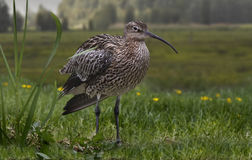 Female Curlew Stock Images