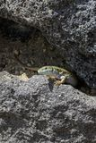 A female of the Cycladic lizard Podarcis erhardii basks on a warm stone on the island of Santorini, Greece. Masking lizards on a sunny day stock images