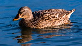 Female dabbling duck Mallard. A female mallard sunbathing and swimming on the surface of a lake royalty free stock photography