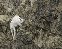 Female Dall Sheep. In the Alaska wilderness Stock Images