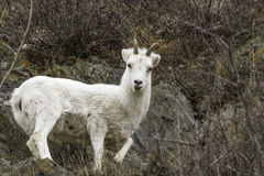 Female Dall Sheep. In the Alaska wilderness Stock Image