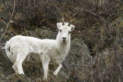 Female Dall Sheep stock image