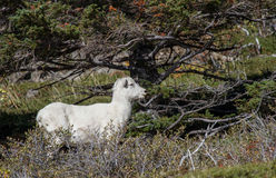 Female Dall Sheep. A Ewe Dall Sheep under a Pine Royalty Free Stock Photo