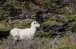 Female Dall Sheep. A Ewe Dall Sheep under a Pine royalty free stock photo