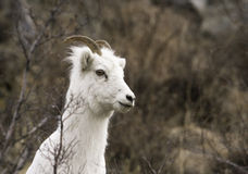 Female Dall Sheep. A female Dall sheep in spring Royalty Free Stock Photography