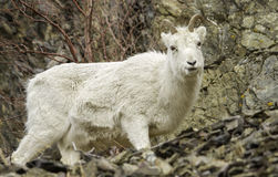 Female Dall Sheep. A female Dall sheep in spring Stock Photo