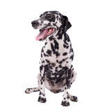 Female Dalmatian Dog or Pet on White Background Stock Image