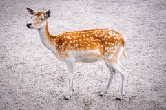 Fallow deer female. Female of Dama dama - Fallow deer royalty free stock photography