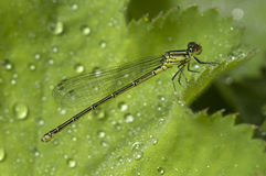 Female damselfly on leaf with rain drops Stock Photo