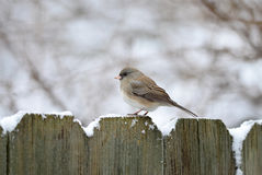 Female Dark-eyed Junco (side view) Royalty Free Stock Photography