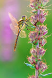 Female darter Royalty Free Stock Images