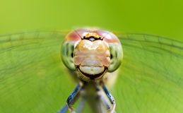Female darter portrait Royalty Free Stock Images