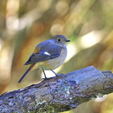 Female Daurian Redstart Royalty Free Stock Photos