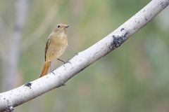Daurian Redstart. A female Daurian Redstart stands on branch. Scientific name: Phoenicurus auroreus Royalty Free Stock Images