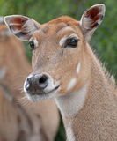 Female Deer. A female red lechwe deer watching to see what happens next Royalty Free Stock Photo