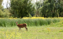 Female deer Royalty Free Stock Image