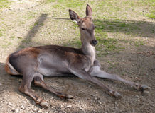 Female deer. A female deer lying on the field royalty free stock photo