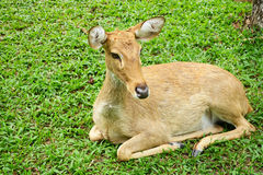 Female deer. Royalty Free Stock Images