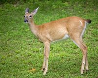 Female deer. Whitetail deer ready for an evening meal stock image