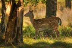 Female Deer Stock Photography