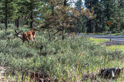 Female Deer in Bryce Canyon, Utah Royalty Free Stock Image