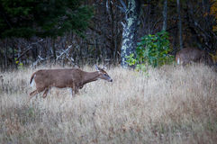 Female Deer in the bush Stock Image