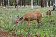 Female deer with calf Royalty Free Stock Image