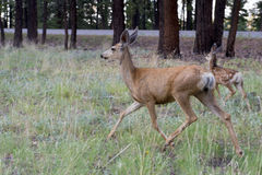 Female deer with calf Stock Image