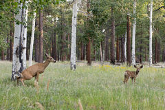 Female deer with calf Royalty Free Stock Photos