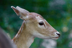 Female deer close up Royalty Free Stock Photo