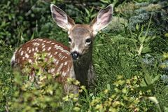 Female deer in countryside Royalty Free Stock Images
