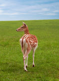 Female deer doe and sky grass Royalty Free Stock Photo