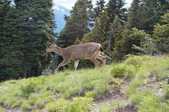 Deer Stalking. and Walking Across A Ridge at Hurricane Ridge in the Olympic National Park in Washington State. Female deer or doe walking across a ridge right to Royalty Free Stock Photos