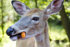 Female deer eating a carrot-Stock Photos Royalty Free Stock Photography